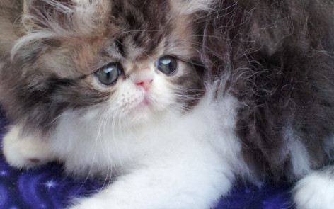 Brown Tabby & white Persian, Male kitten *SOLD*