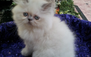 Blue Cream point Himalayan, Female kitten *SOLD*