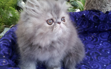 Blue Cream Tabby Persian, Female kitten *Available*
