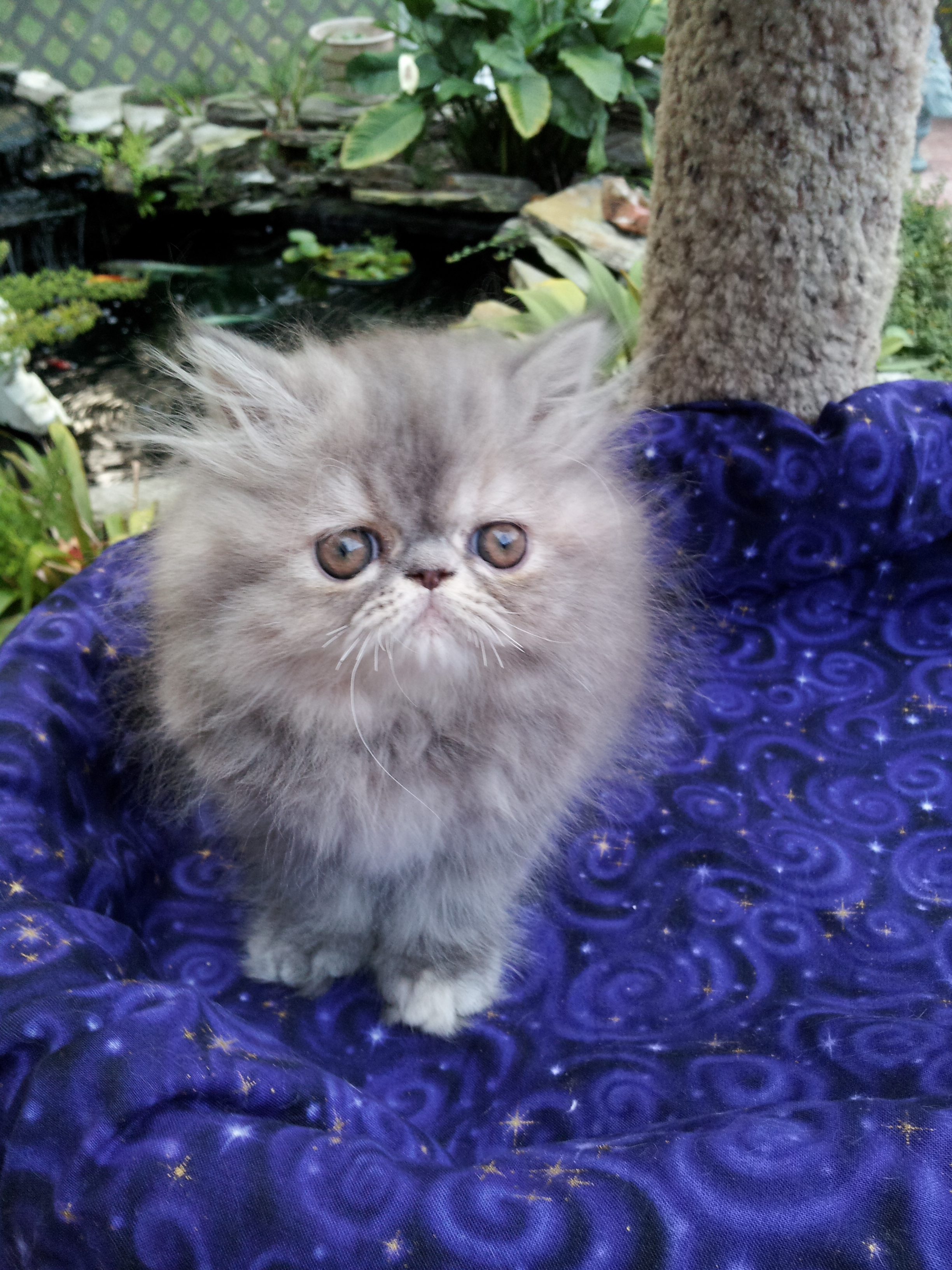 Blue Cream Tabby Persian Female kitten SOLD