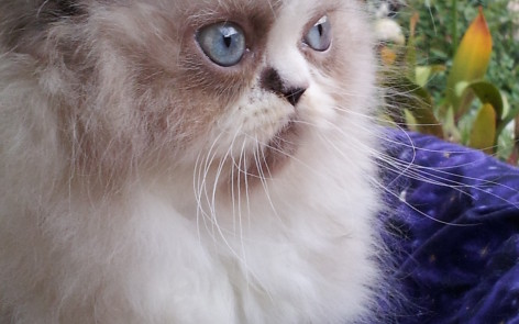 Seal & White point Himalayan Male kitten *Available*