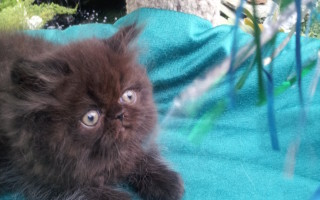 Solid Black Persian  Male kitten *Available*