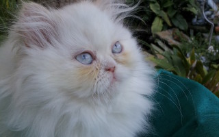 Cream point Himalayan, Female kitten *Available*