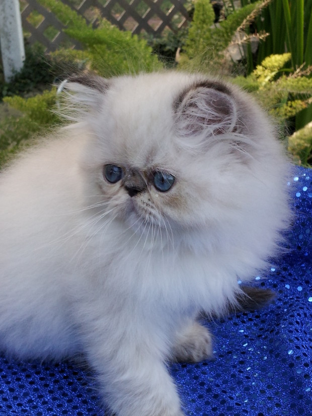 Seal point Lynx Himalayan male kitten *SOLD*