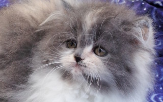 Dilute Calico, Persian Female kitten *Available*