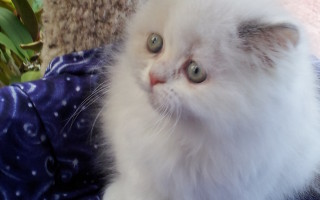 Tortie point, Himalayan Female kitten *Available*