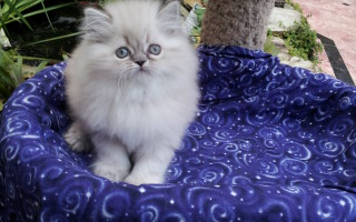 Blue Lynx point Himalayan Female kitten *Reserved*