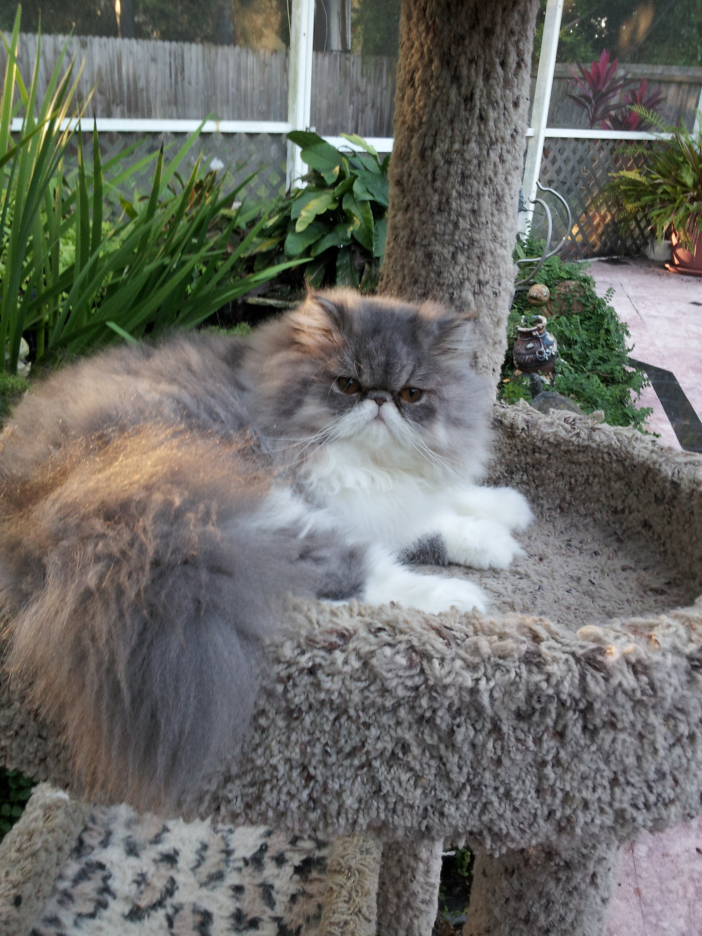 Blue And White Persian Female Kitten Sold Liz Top Cat