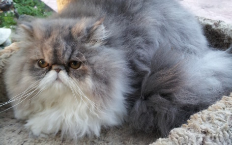 "Blue and white Persian Female kitten  ""Available"""