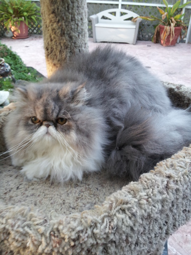 "Blue and white Persian Female kitten  ""SOLD"""