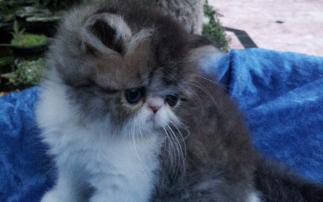 """Brown Tabby and white Persian Male kitten """"Available"""""""