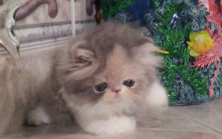 "Dilute Calico Persian Female kitten ""Available"""