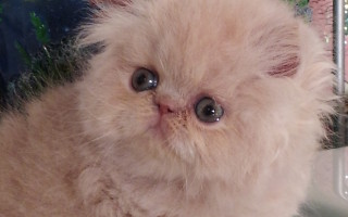 "Cream Persian Male kitten ""Available"""