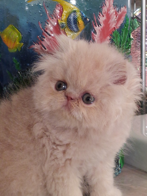 "Cream Persian Male kitten ""SOLD"""