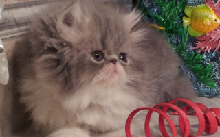 "Blue and white Persian Male kitten ""Available"""