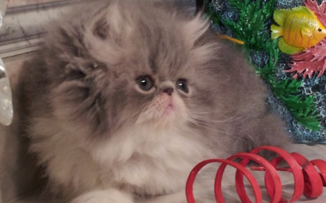 """Blue and white Persian Male kitten """"Available"""""""