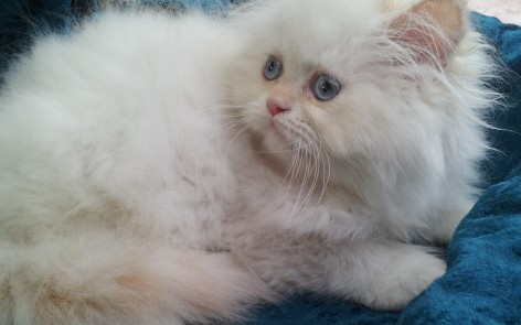 "Flame pt. Himalayan Male kitten ""Available"""