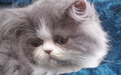 "Blue & white Persian Male kitten ""Available"""