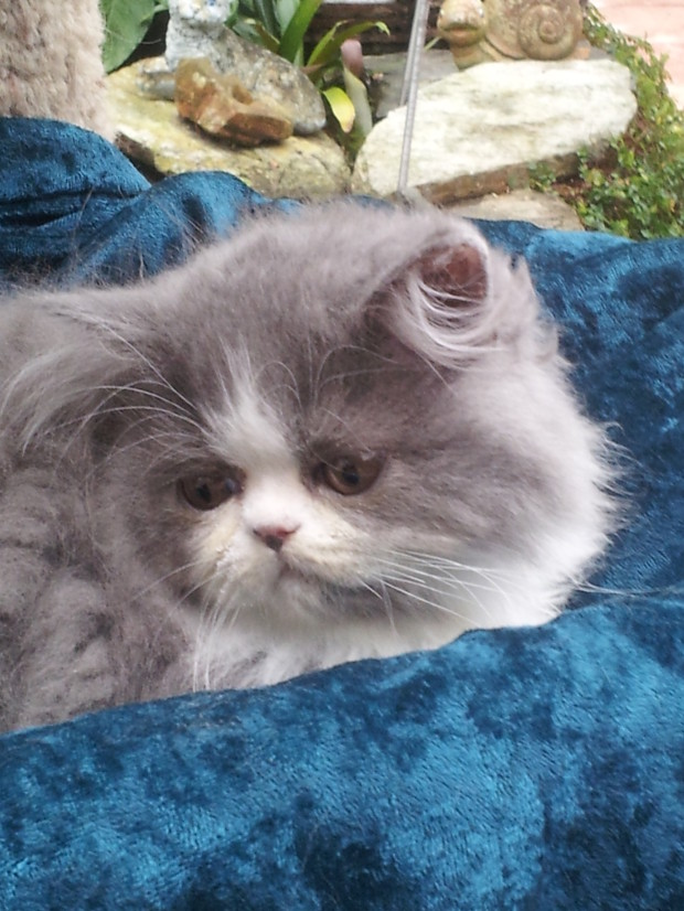"Blue & white Persian Male kitten ""SOLD"""