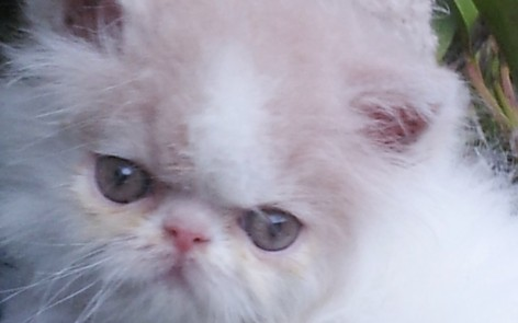 "Cream & white Van Persian Male kitten ""Available"""