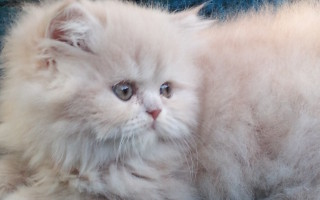 "Solid Cream Tabby Persian Male kitten ""RESERVED"""
