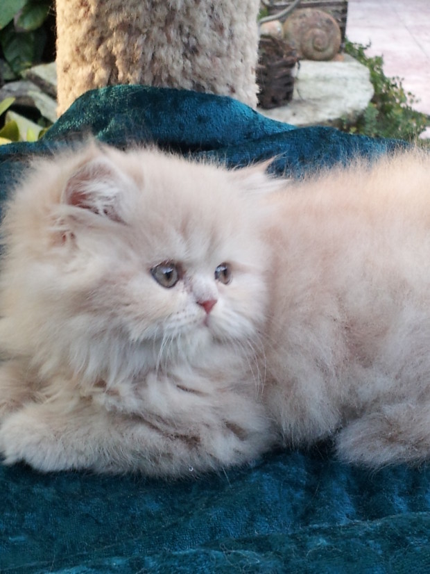 "Solid Cream Tabby Persian Male kitten ""SOLD"""