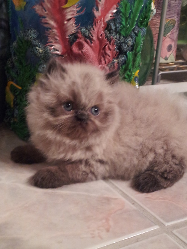 "Seal point  Himalayan Female kitten ""SOLD"""