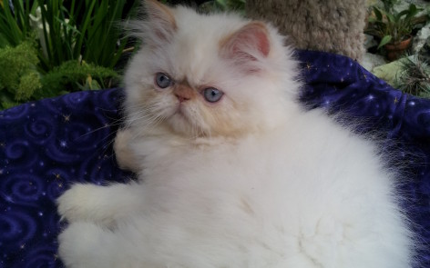 "Flame point Himalayan, Male kitten ""SOLD"""