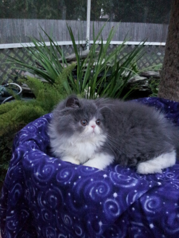 "Blue & white Persian Male kittens ""SOLD"""