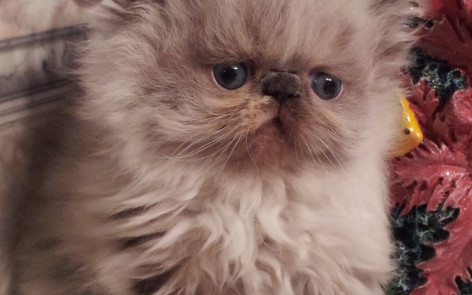"Seal & white Point Himalayan Female kitten  ""SOLD"""