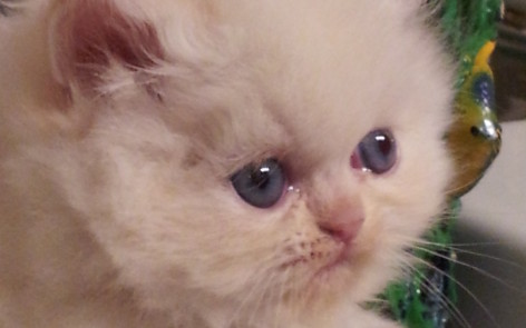 "Flame Point Himalayan Male kitten ""SOLD"""