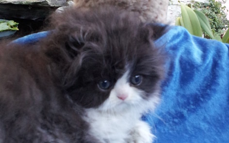 Black and white Persian, Female kitten *SOLD*
