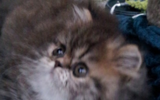 Brown Tabby Persian, Male kitten *SOLD*
