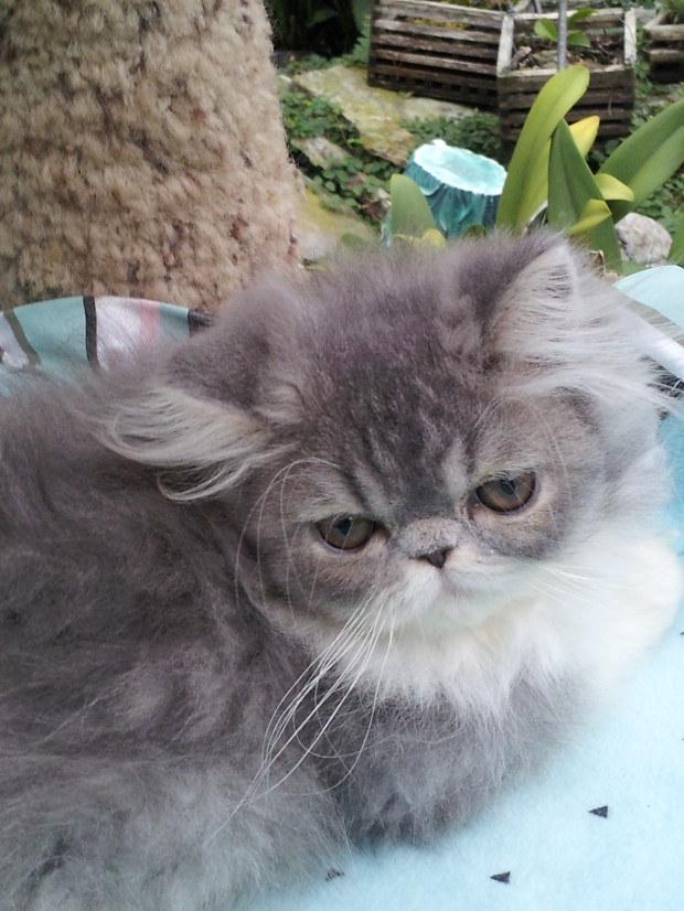 Blue and white Persian Female kitten *SOLD*