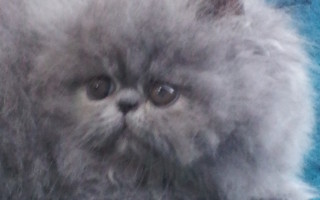Blue, Persian Male kitten *Available*