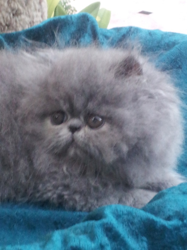 Blue, Persian Male kitten *SOLD*