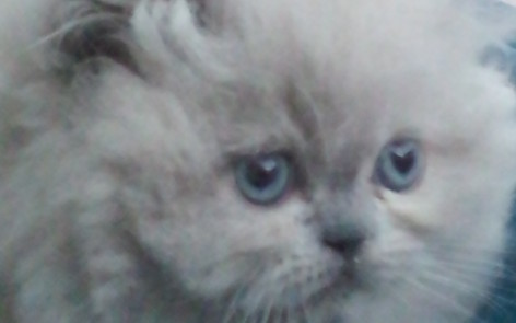 Blue Point, Himalayan Male kitten *Available*