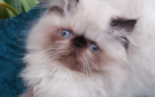 Seal Point, Himalayan Female kitten *SOLD*