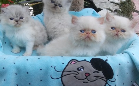 Blue pt. Seal/white pt. females and 1 Flame pt. male kittens SOLD