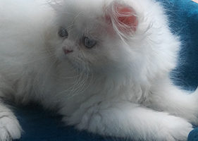 "Cream point Himalayan female kitten ""Reserved"""