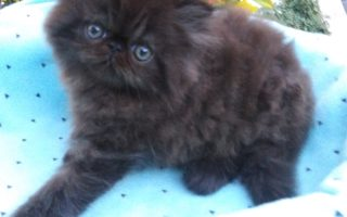 Black Persian, Male kitten *Available*