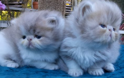 "Lilac/White Persian Male Kittens ""Available"" 1 kitten is ""RESERVED"""