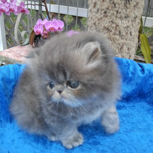 "Persian Blue Tabby male kitten ""SOLD"""