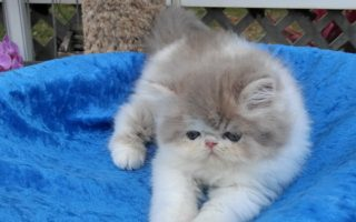 """Persian Lilac and white, male kitten """"RESERVED"""""""
