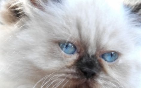 """Seal point, Himalayan, female kitten """"SOLD"""""""