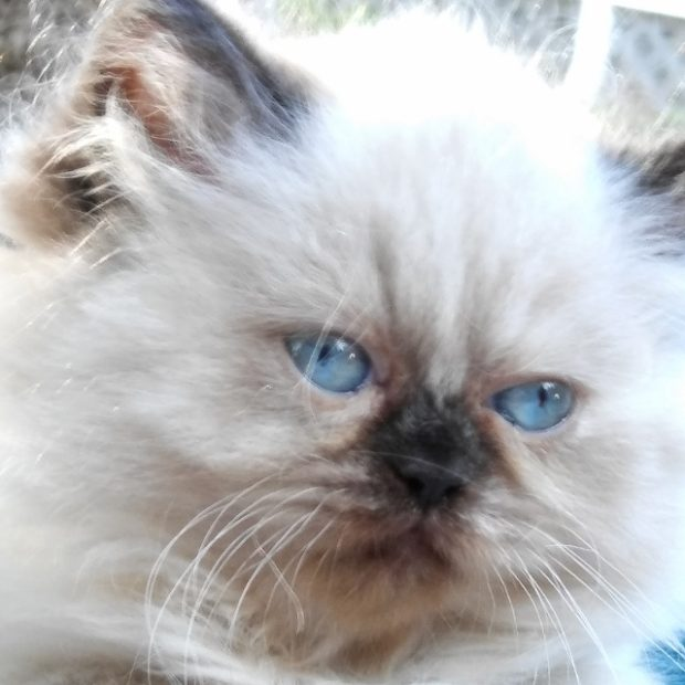 "Seal point, Himalayan, female kitten ""SOLD"""