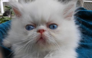 """Flame point, Himalayan, male kitten """"Available"""""""