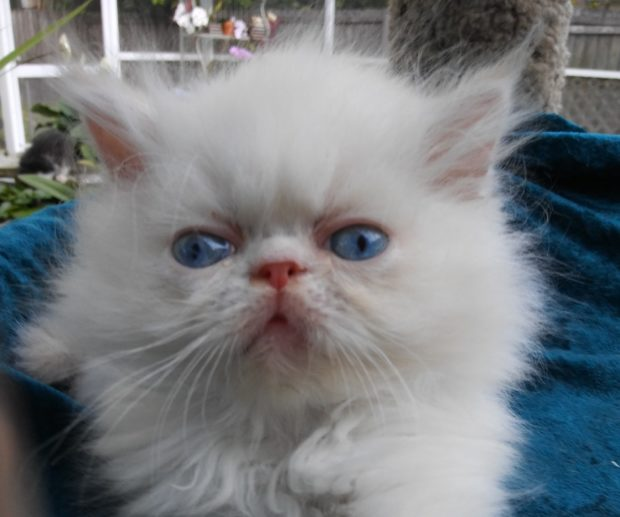 "Flame point, Himalayan, male kitten ""Available"""