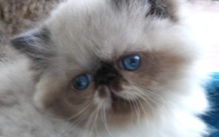 """Seal & white point, Himalayan female kitten """"Available"""""""