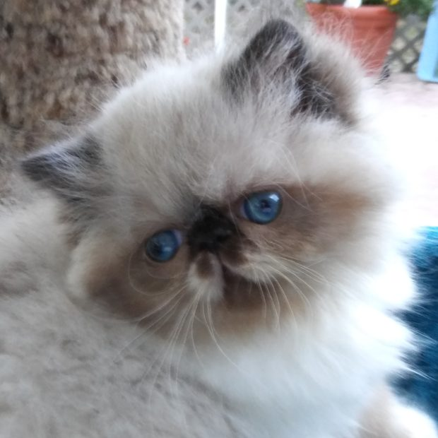 "Seal & white point, Himalayan female kitten ""Available"""